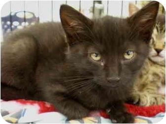 Domestic Shorthair Kitten for adoption in Yorba Linda, California - Parker