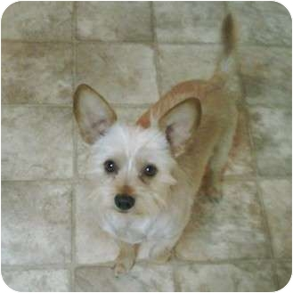 Yorkie, Yorkshire Terrier Mix Dog for adoption in Portland, Oregon - Bubbles