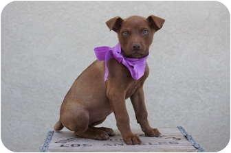 Doberman Pinscher Mix Puppy for adoption in Tustin, California - Apple