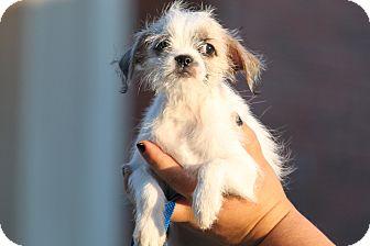 Brussels Griffon/Shih Tzu Mix Puppy for adoption in McKinney, Texas - Rikki