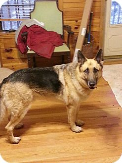 German Shepherd Dog Dog for adoption in Nashville, Tennessee - Zeus