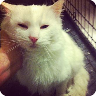 Domestic Longhair Cat for adoption in Lexington, Kentucky - kief
