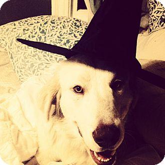 Great Pyrenees/Golden Retriever Mix Dog for adoption in Austin, Texas - Wizard