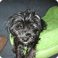 Adopt A Pet :: Sylvie - Apex, NC