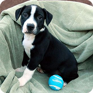 Boxer Mix Puppy for adoption in McCormick, South Carolina - Tip