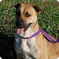 Adopt A Pet :: Dillon- Adoption Pending - Albany, NY