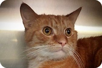 Domestic Shorthair Cat for adoption in Elyria, Ohio - Tiny