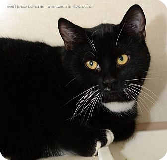 Domestic Shorthair Cat for adoption in Pincher Creek, Alberta - Mitts