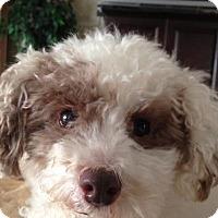 Adopt A Pet :: Yankee Doodle - Mount Gretna, PA
