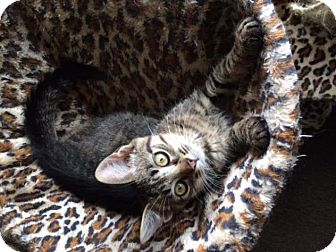Domestic Shorthair Cat for adoption in Sterling Heights, Michigan - Louie