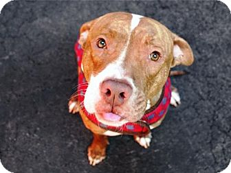 American Pit Bull Terrier Mix Dog for adoption in Ridgefield, Connecticut - Chester