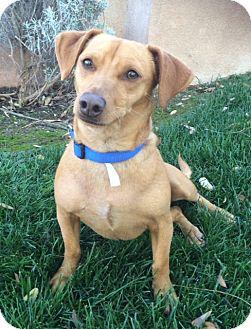 Dachshund Mix Dog for adoption in San Diego, California - Simba