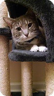 American Shorthair Cat for adoption in Burlington, North Carolina - Mike