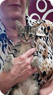 Domestic Shorthair Kitten for adoption in Newburgh, Indiana - Wilma