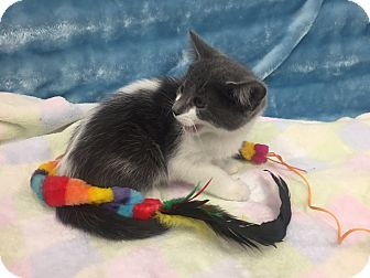 Domestic Shorthair Kitten for adoption in Highland Park, New Jersey - Trickle