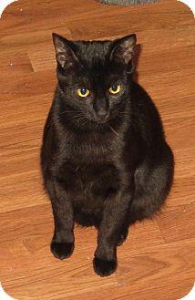 Bombay Cat for adoption in Vacaville, California - Bob