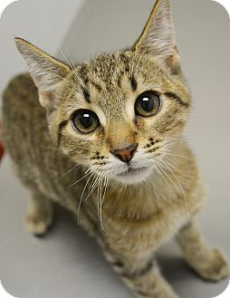 Domestic Shorthair Kitten for adoption in Springfield, Illinois - Ryder
