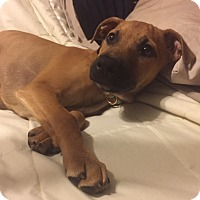 Adopt A Pet :: Halle - Middlesex, NJ