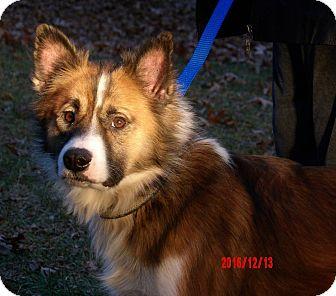 "Spitz (Unknown Type, Medium)/Sheltie, Shetland Sheepdog Mix Dog for adoption in West Sand Lake, New York - Ralphie ""Icelandic Spitz"""