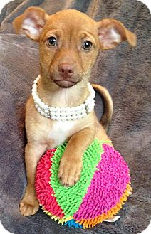 Chihuahua/Dachshund Mix Puppy for adoption in South San Francisco, California - Midori