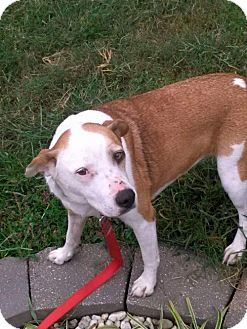 Pit Bull Terrier Mix Dog for adoption in St Louis, Missouri - Lola