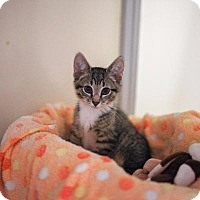 Adopt A Pet :: Catan - Raleigh, NC