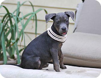 Doberman Pinscher/Weimaraner Mix Puppy for adoption in North Vancouver, British Columbia - Josie