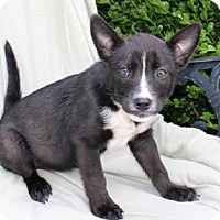 Australian Cattle Dog/French Bulldog Mix Puppy for adoption in Portland, Maine - PUPPY CHANTEL