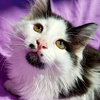 Domestic Longhair Cat for adoption in Hornell, New York - Crawford