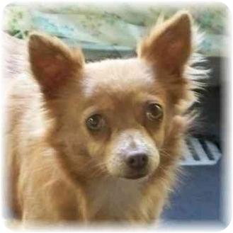 Chihuahua Dog for adoption in Seattle c/o Kingston 98346/ Washington State, Washington - Isaac