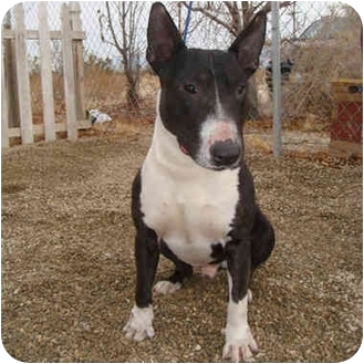 Bull Terrier Dog for adoption in Los Angeles, California - Sharky