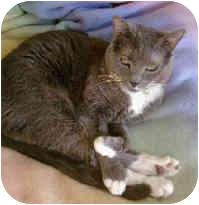 American Shorthair Cat for adoption in Poway, California - Sophia