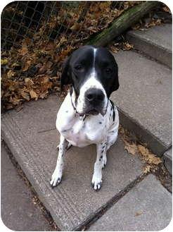 Pointer Dog for adoption in Grafton, Massachusetts - Indy