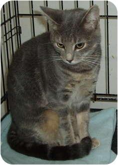 Domestic Shorthair Kitten for adoption in Westfield, Massachusetts - Unnamed