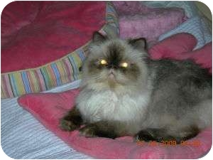Himalayan Cat for adoption in Columbus, Ohio - Michael Jackson aka MJ