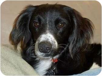 Border Collie Mix Dog for adoption in Chula Vista, California - Cooper