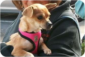Chihuahua Mix Dog for adoption in Castro Valley, California - Cindy