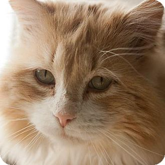 Domestic Longhair Cat for adoption in Denver, Colorado - Sammy