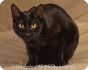 Domestic Shorthair Cat for adoption in Crescent, Oklahoma - Ebony