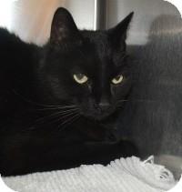 Domestic Mediumhair Cat for adoption in Scottsdale, Arizona - Merlin