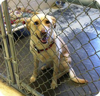 Labrador Retriever Mix Dog for adoption in Greensburg, Pennsylvania - Ruby