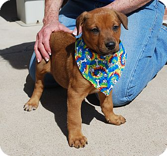 Shepherd (Unknown Type)/Rottweiler Mix Puppy for adoption in White Settlement, Texas - Gypsy's  Jake-Adoption Pending