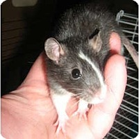 Adopt A Pet :: Mira - Cincinnati, OH