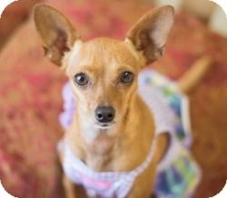 Chihuahua Mix Dog for adoption in Mesa, Arizona - JoJo