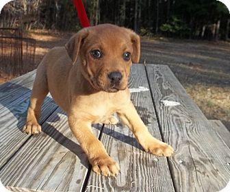 Labrador Retriever Mix Puppy for adoption in Warrenton, North Carolina - Cranberry