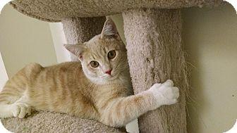 Domestic Shorthair Kitten for adoption in Carlisle, Pennsylvania - Rollie