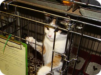 Domestic Shorthair Kitten for adoption in Henderson, North Carolina - Abby