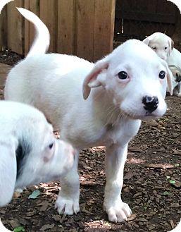 American Bulldog Mix Puppy for adoption in North Brunswick, New Jersey - Landon