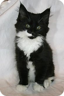 Maine Coon Kitten for adoption in Absecon, New Jersey - Queen