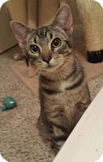 Domestic Shorthair Cat for adoption in Houston, Texas - Waylon